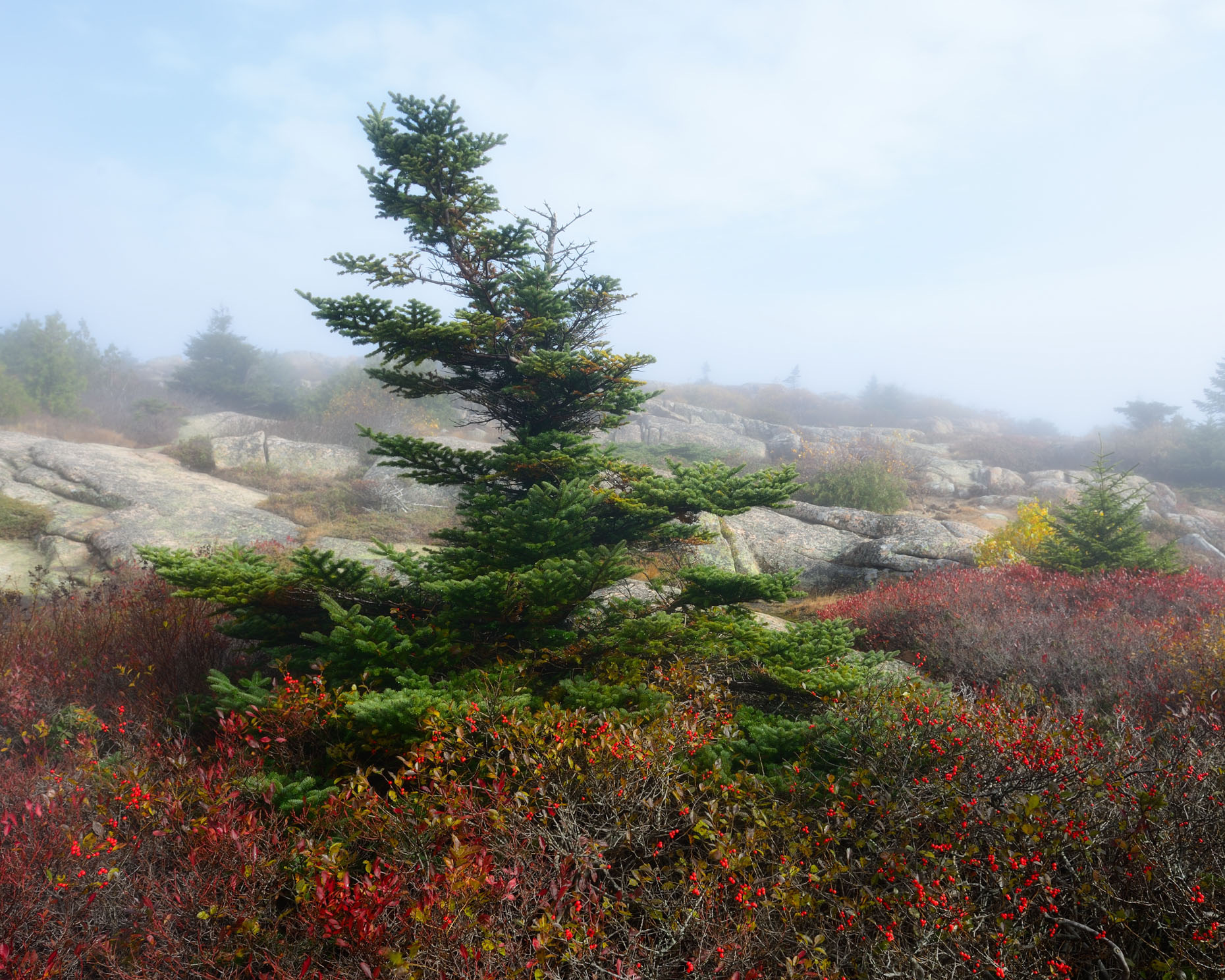 Bent Pine on Cadillac Mountain (Acadia National Park, Maine)