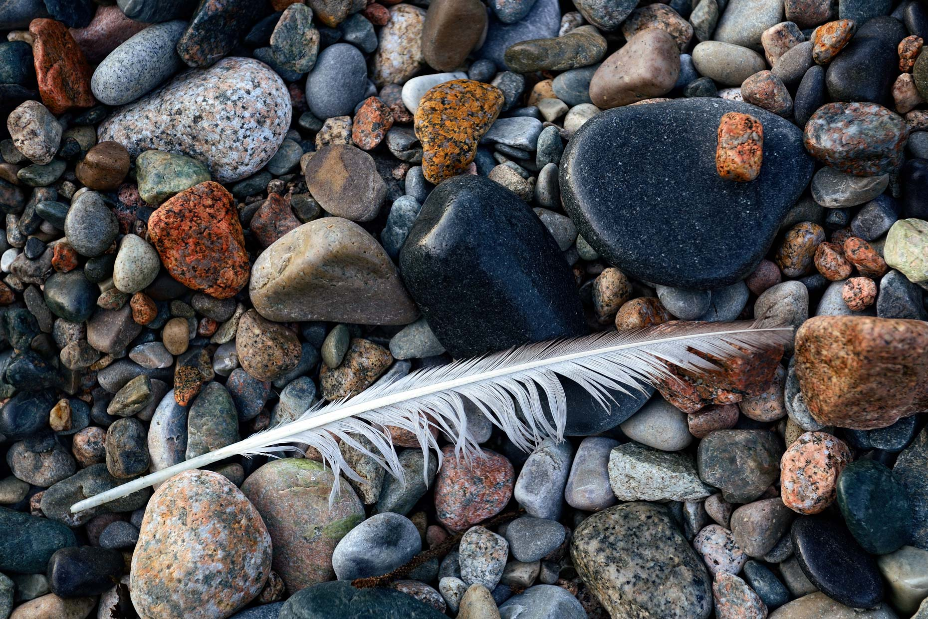 Feather on Cobble Beach (Acadia National Park, Maine)