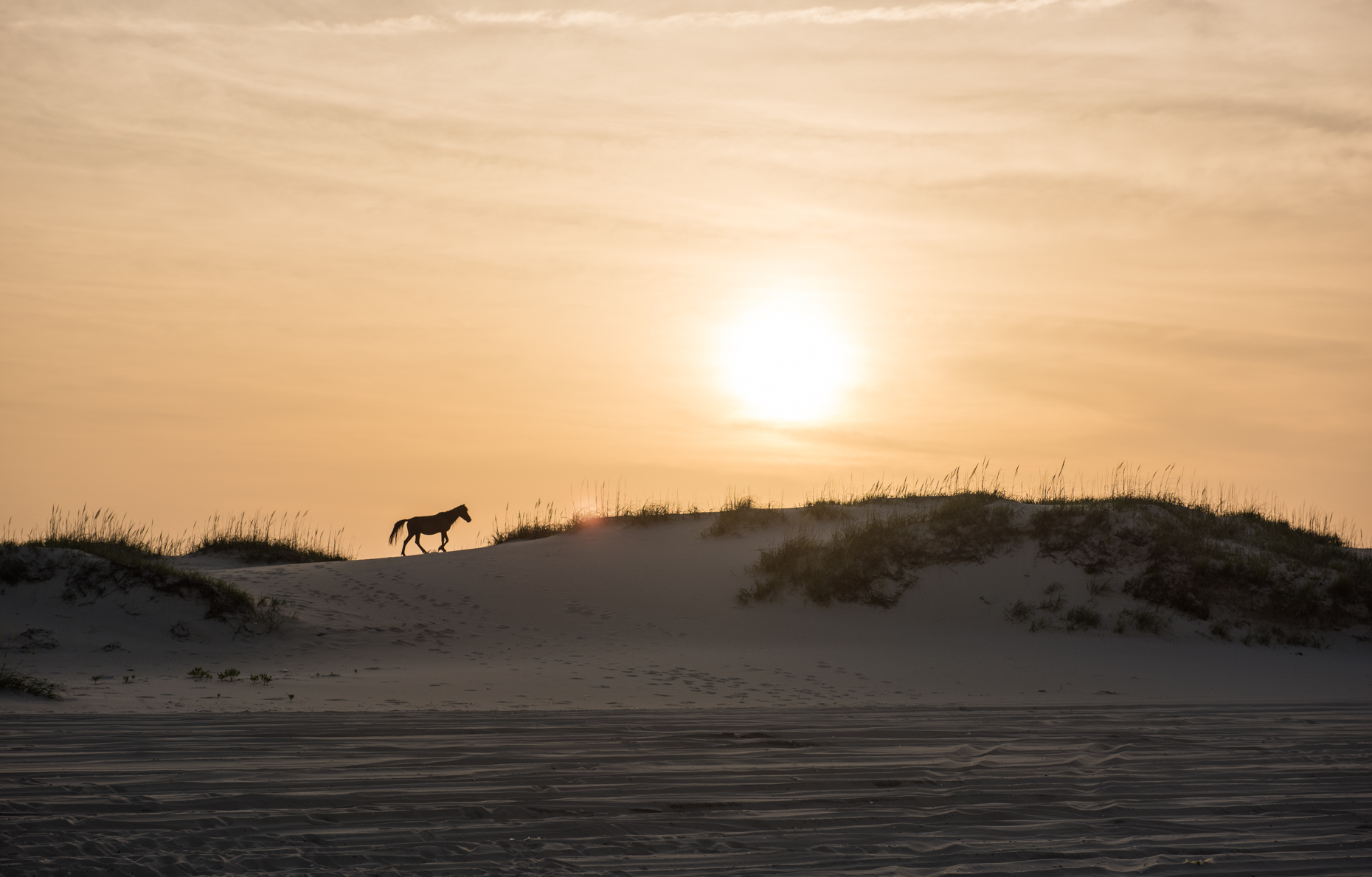 Wild Stallion (Corolla, North Carolina)